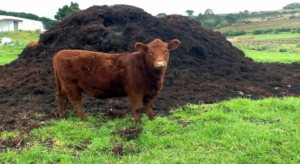 Cattle and Cattle Waste